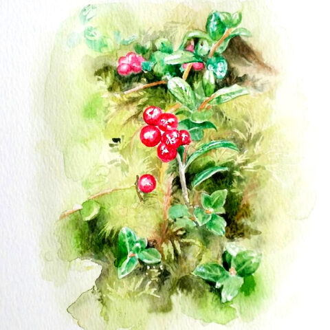 Aquarelle lingonberries