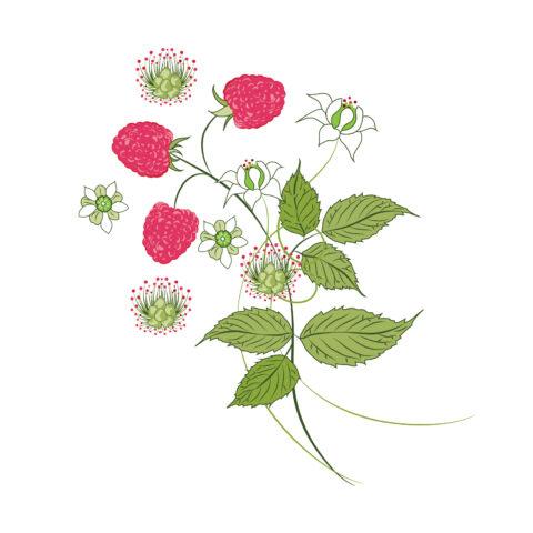 Vector illustration raspberres